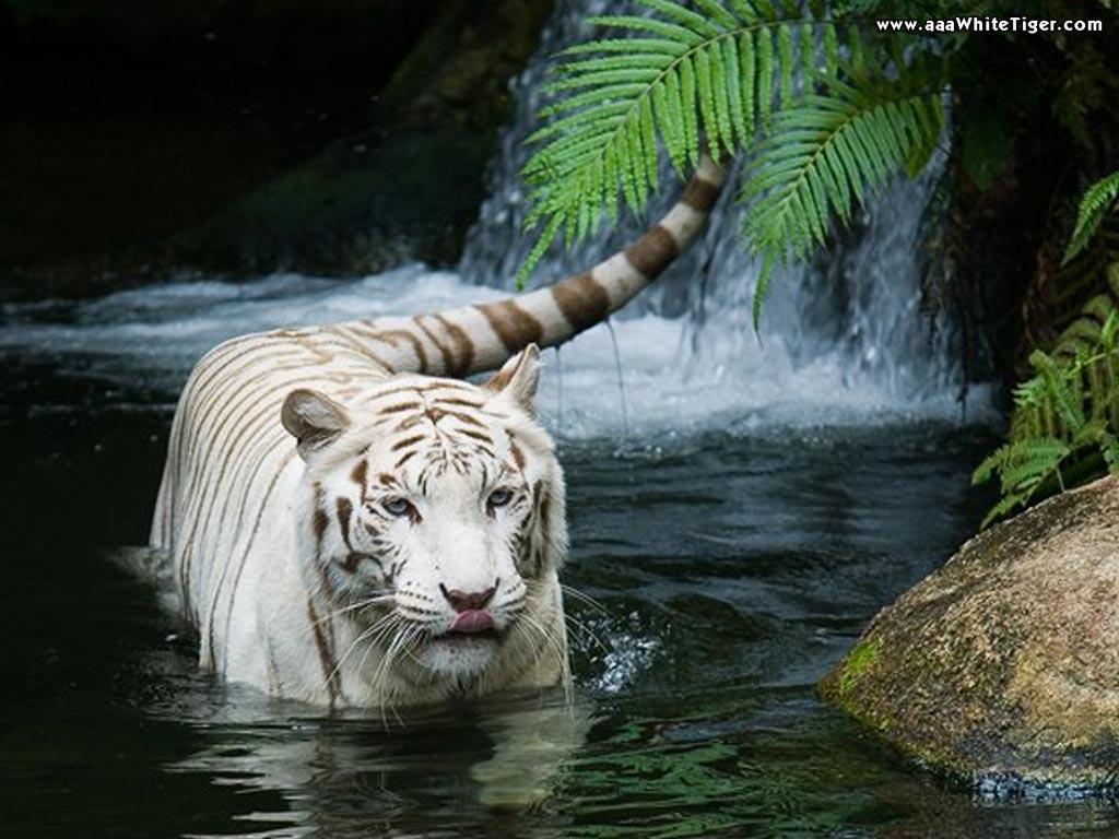 Black tigers best download 2 - White tiger wallpaper free download ...